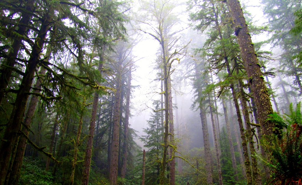 Amongst the firs of the Elliott State Fo by #ODF, on Flickr
