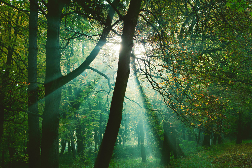 Sun rays between trees in forest by Pawel Pacholec, on Flickr