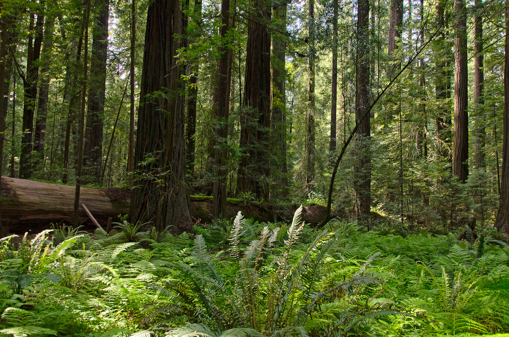 Humboldt Redwood Forest by Scrubhiker (USCdyer), on Flickr