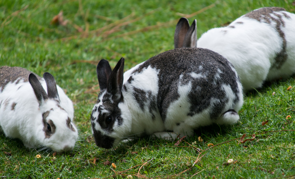 Gray and white spotted rabbit in grass a by D Coetzee, on Flickr