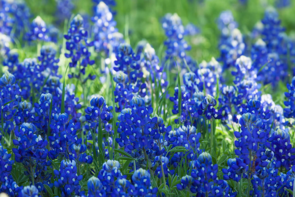 Texas blue bonnets by sandyhd, on Flickr
