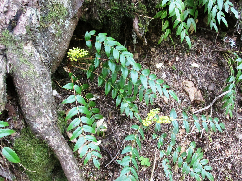 Mahonia nervosa (Dwarf Oregon-Grape) by brewbooks, on Flickr