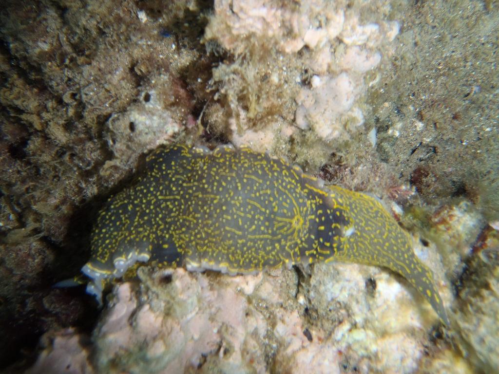 Sea Slug, Felimare picta, γυμνοσά by dimsis, on Flickr