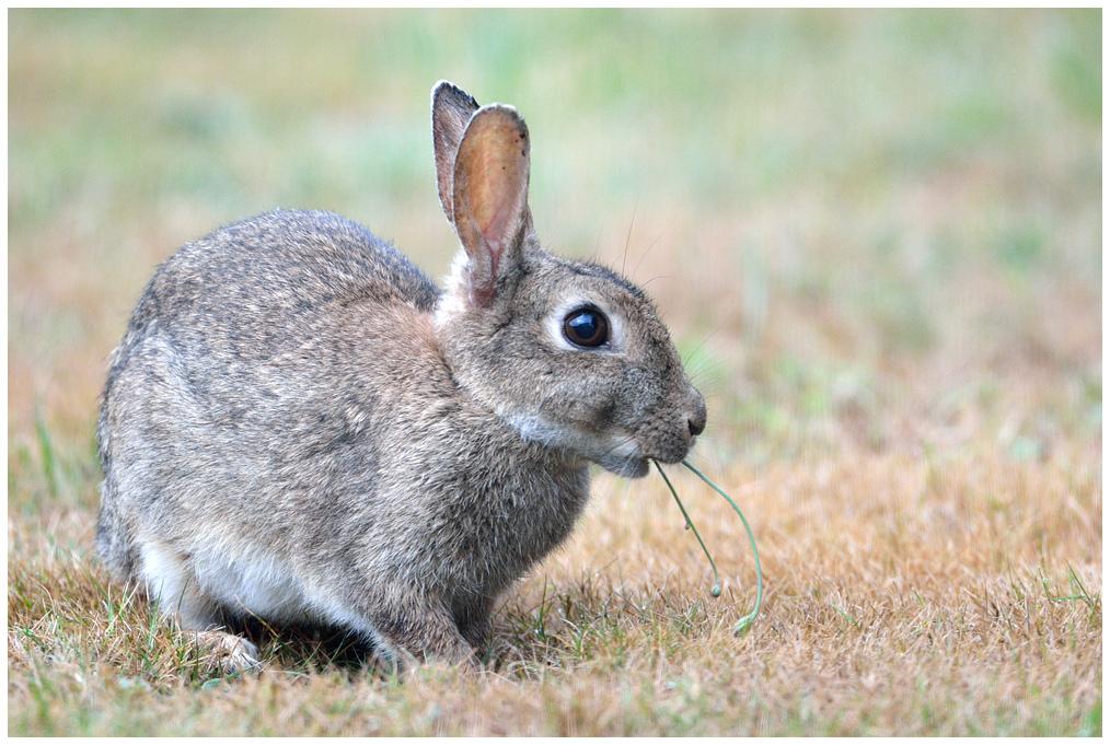 Lapin de garenne / European Rabbit by Jean-Jacques Boujot, on Flickr