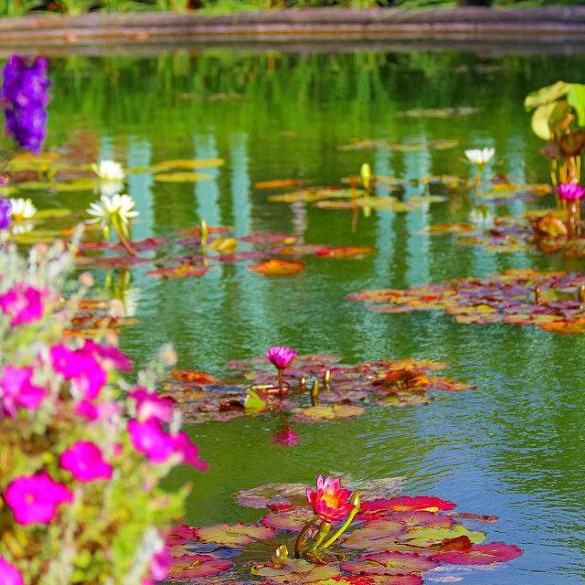 #waterlily #sagitaria #lotus #pond #West by julianomarp, on Flickr