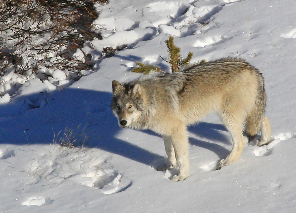 Yellowstone Delta Pack wolf by YellowstoneNPS, on Flickr
