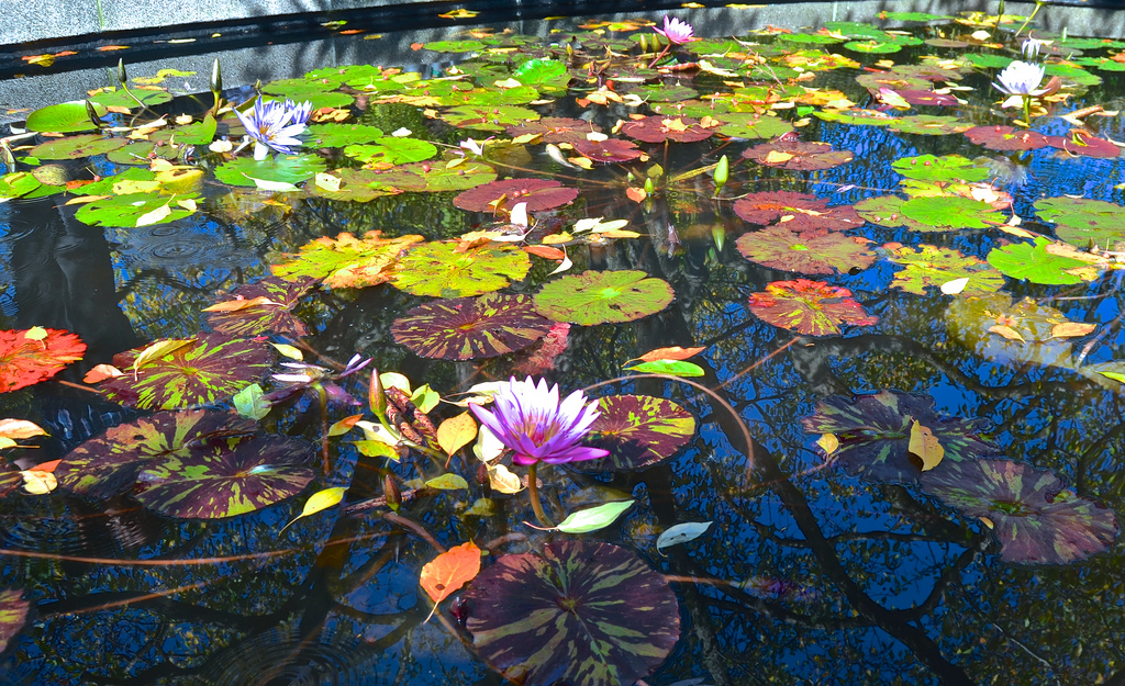 lily pond, fountain, Central Park, New Y by David McSpadden, on Flickr