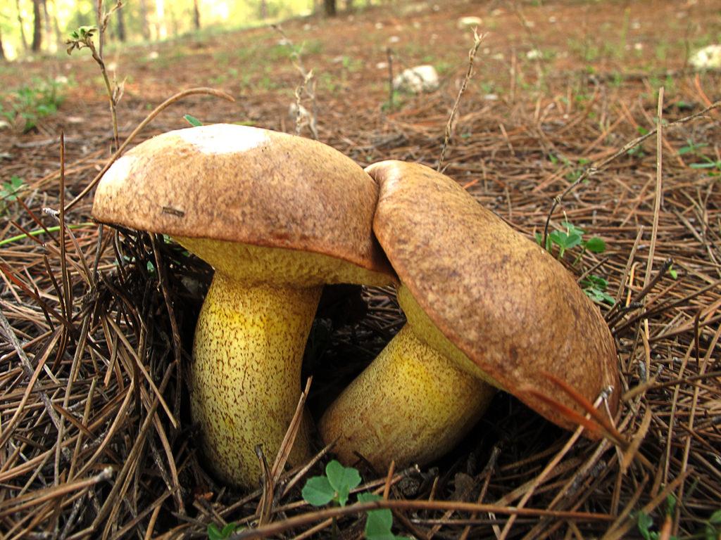 Seta esponja * Suillus  collinitus by jacilluch, on Flickr