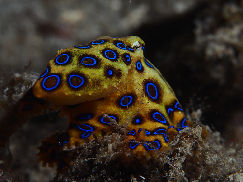 Greater blue-ringed octopus (Hapalochlae by krokodiver, on Flickr