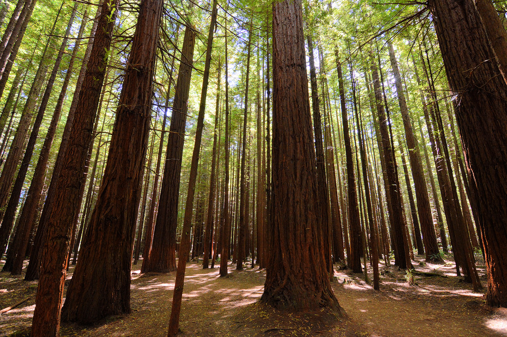 Redwood forest, Rotorua by chinoxa, on Flickr