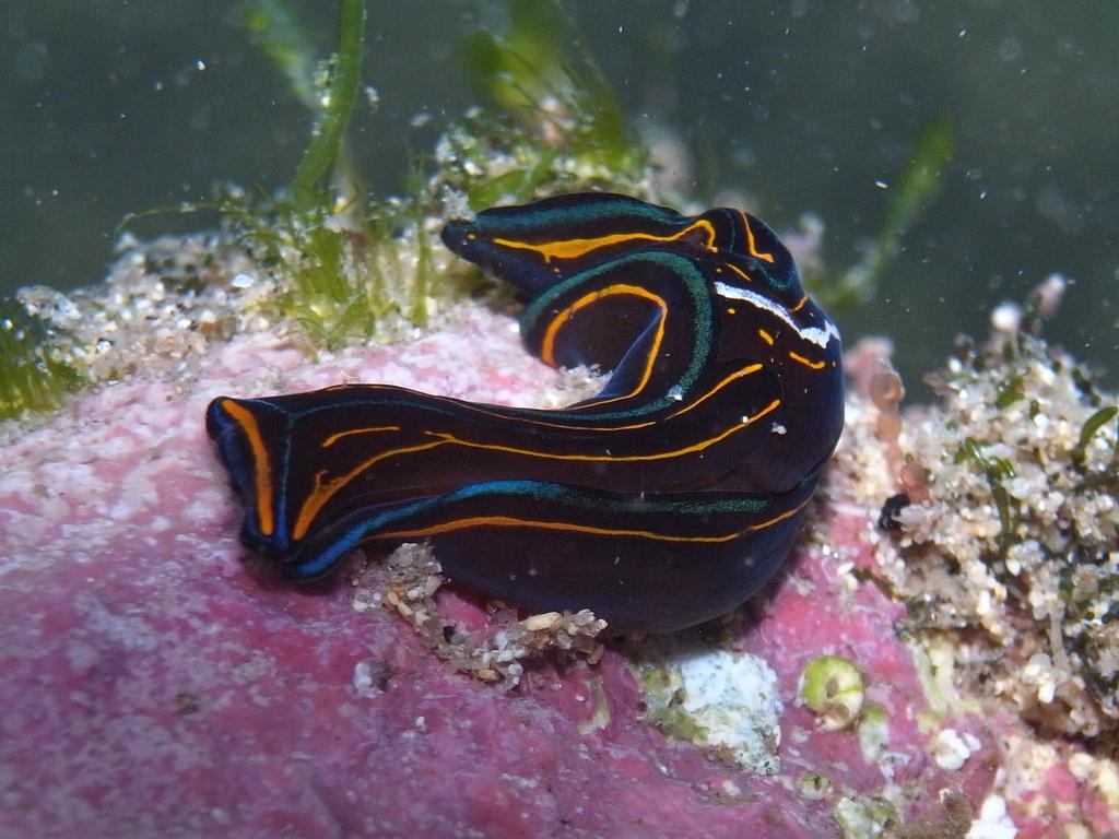 Sea slug-Chelidonura hirundinina by Sylke Rohrlach, on Flickr