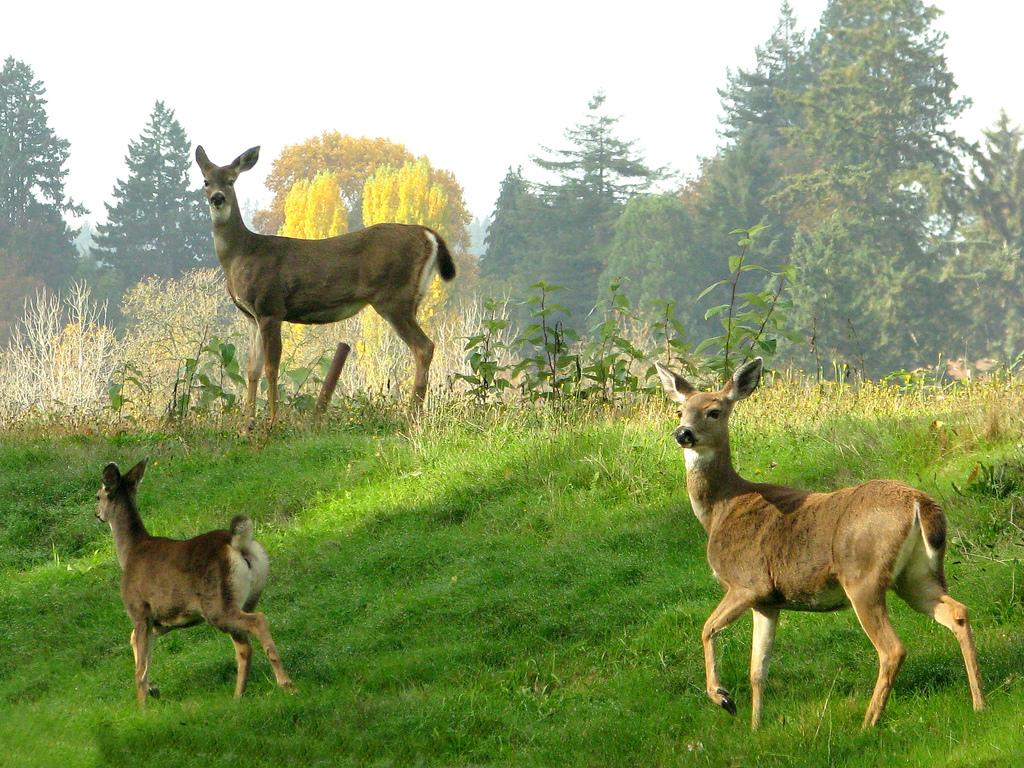 Deer by Noël Zia Lee, on Flickr