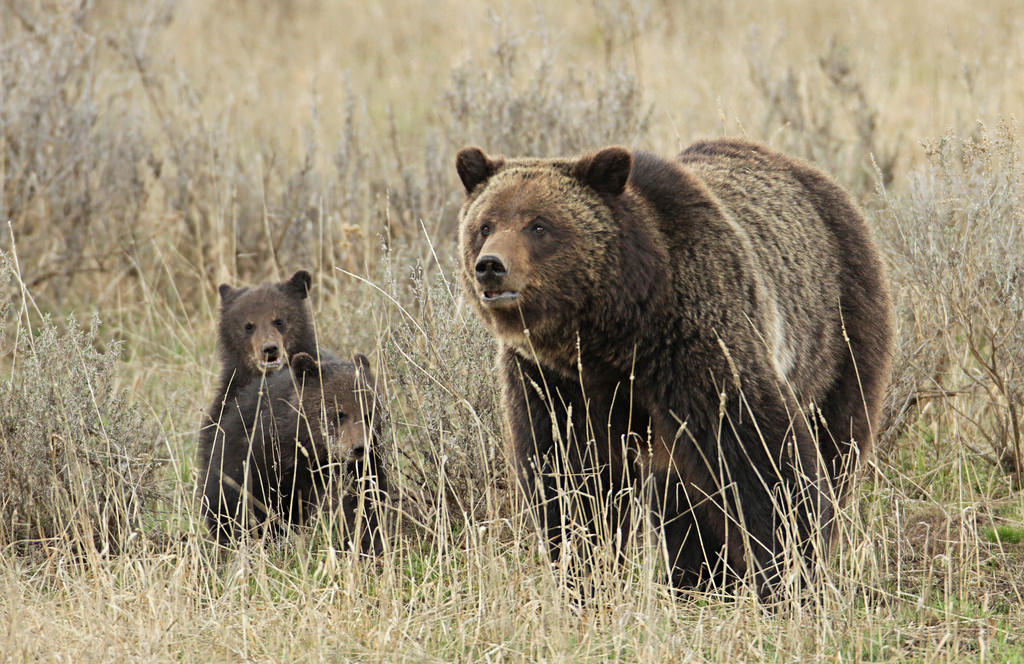 Grizzly sow and cubs near Fishing Bridge by YellowstoneNPS, on Flickr