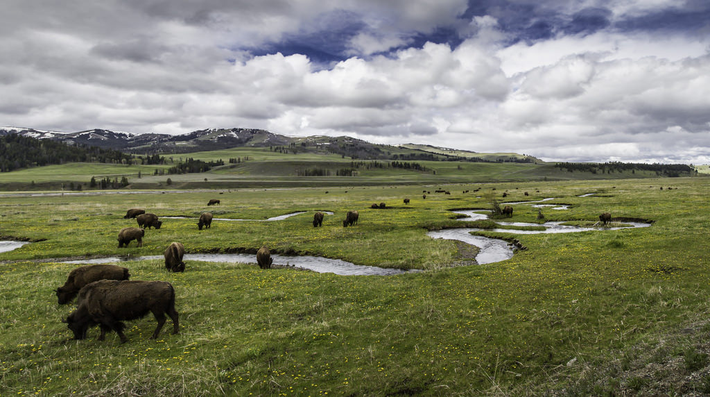 Bison on Rose Creek, Lamar Valley by YellowstoneNPS, on Flickr