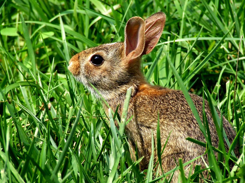Wild Rabbit by JoshuaDavisPhotography, on Flickr