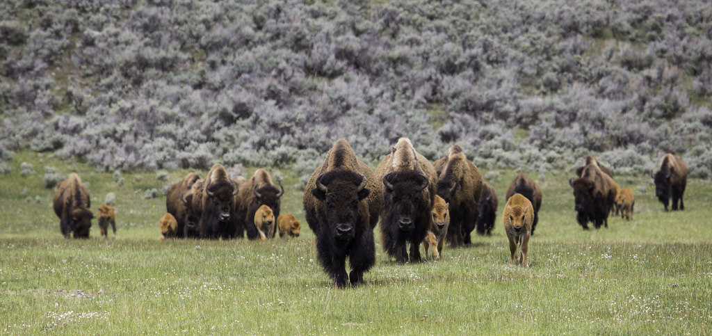 Bison on the move, Lamar Valley by YellowstoneNPS, on Flickr
