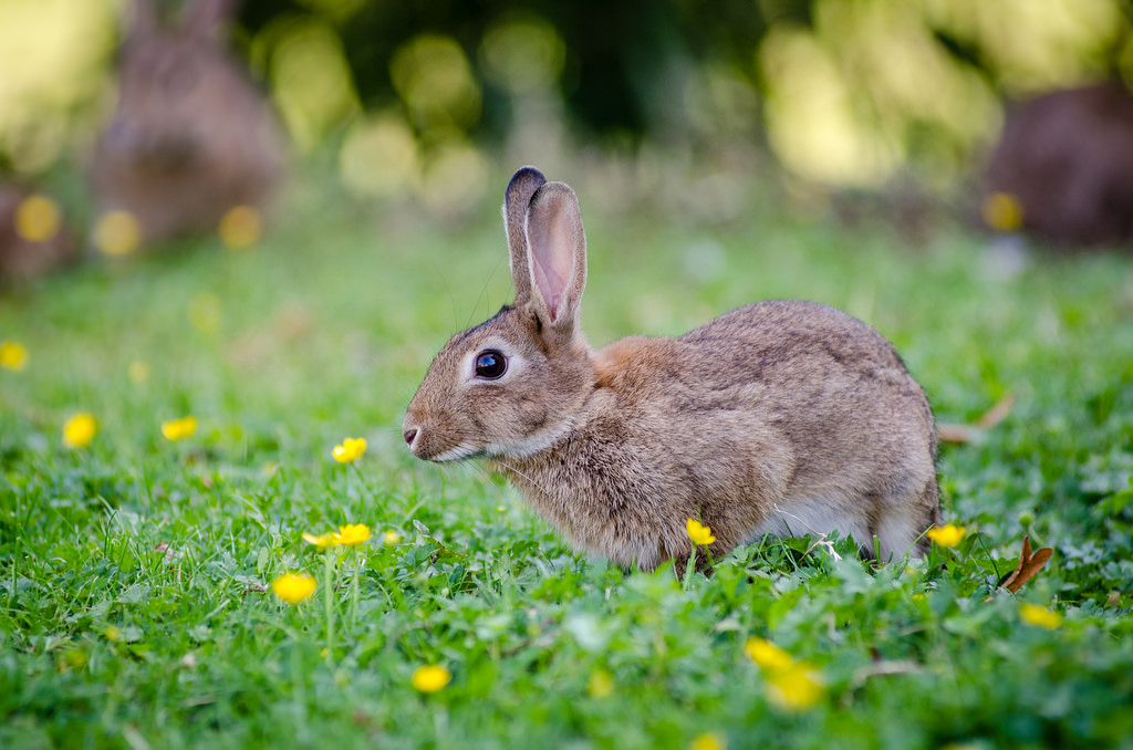 European rabbit by Mathias Appel, on Flickr