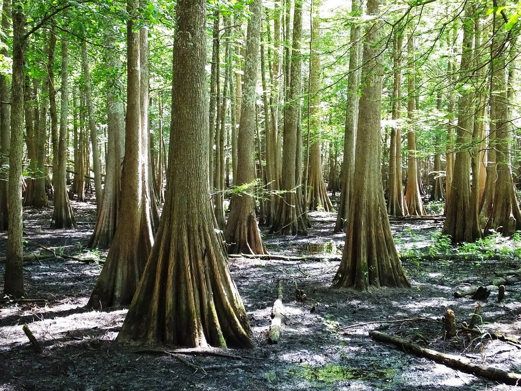 Bald Cypress Trees by U.S. Fish and Wildlife Service - Midwest Region, on Flickr
