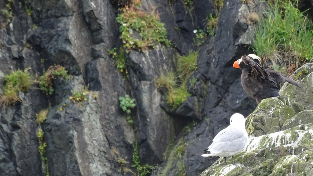 Puffin on the bird cliffs of Bogoslaf Is by Martin Ehrensvärd, on Flickr