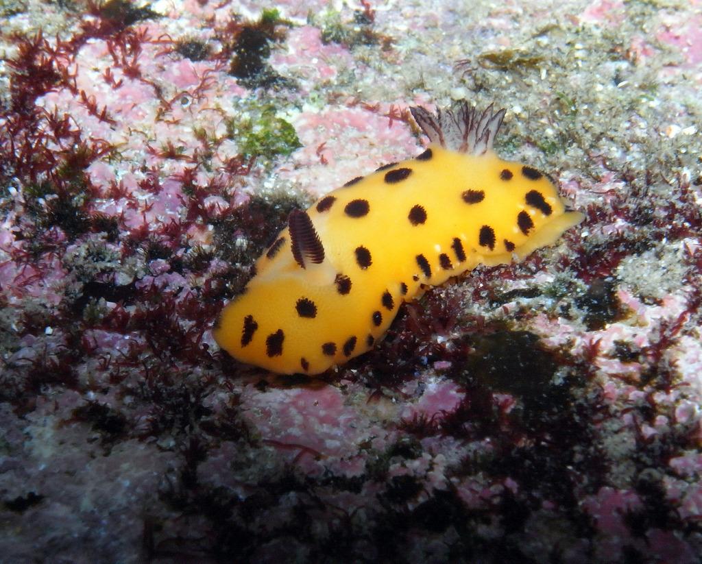 Nudibranch-Black spot Jorunna-Jorunna sp by Sylke Rohrlach, on Flickr