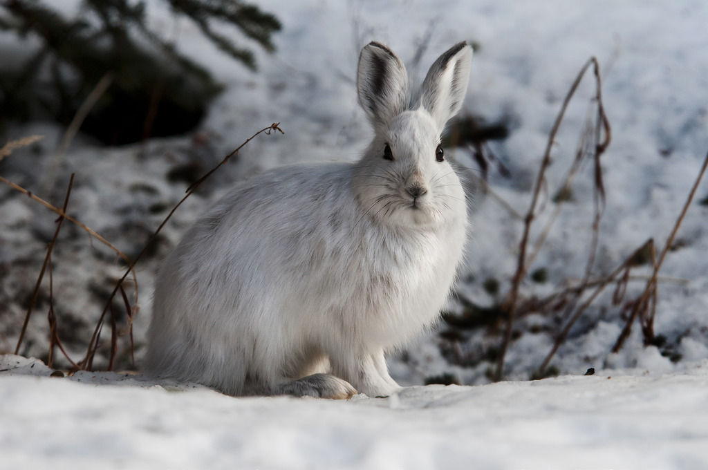 Snowshoe Hares by NPS Climate Change Response, on Flickr