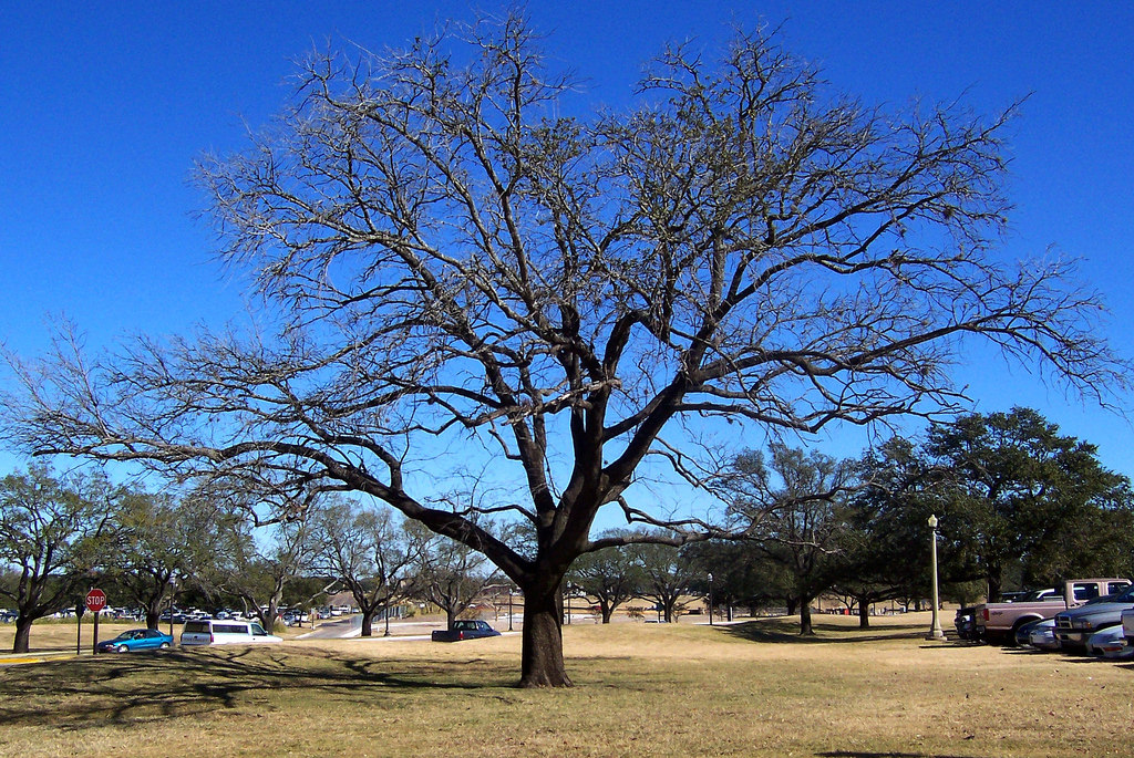 USA (College Station, TX) Oak tree in th by ustung, on Flickr