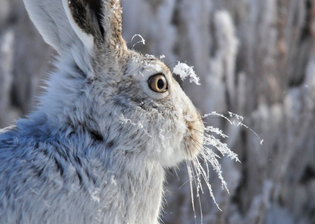 Frosty White-Tailed Jackrabbit on Seedsk by USFWS Mountain Prairie, on Flickr