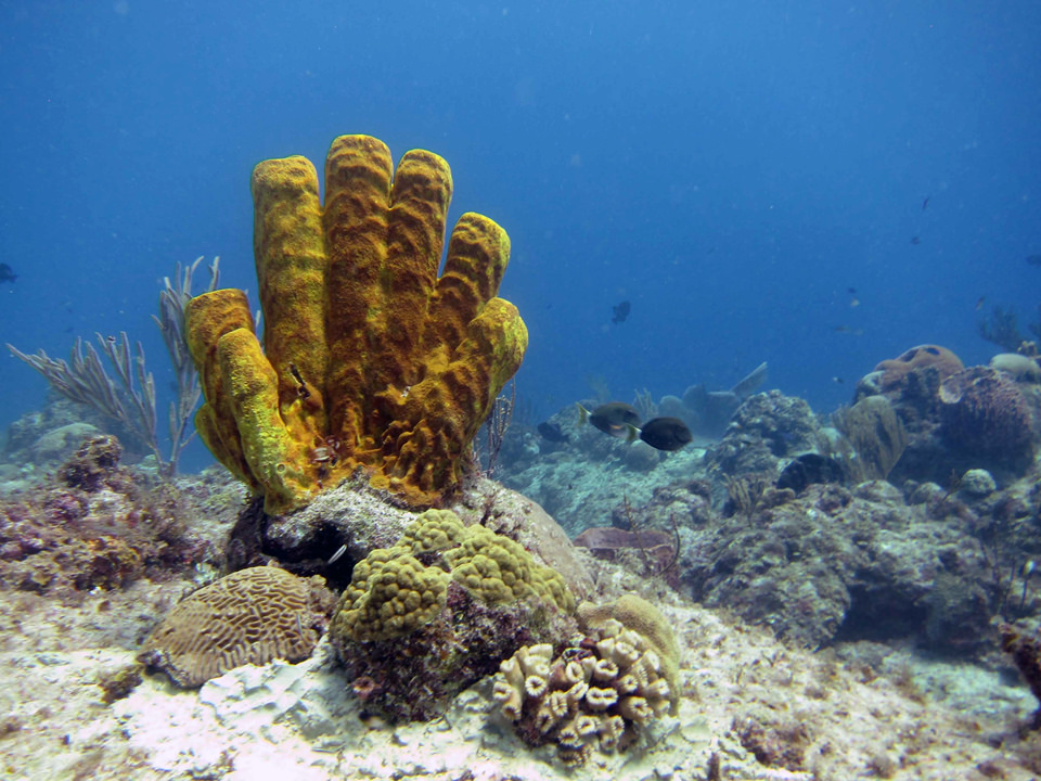 Corals freshly cemented to the seafloor by noaa_response_restoration, on Flickr