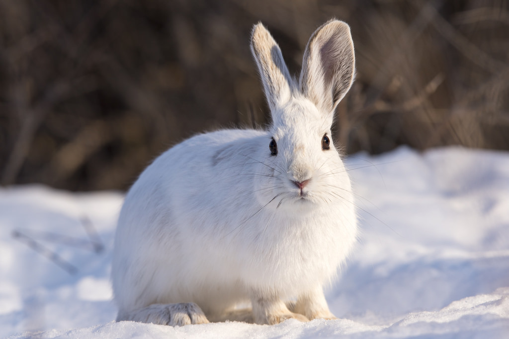 Snowshoe Hare by davejdoe, on Flickr