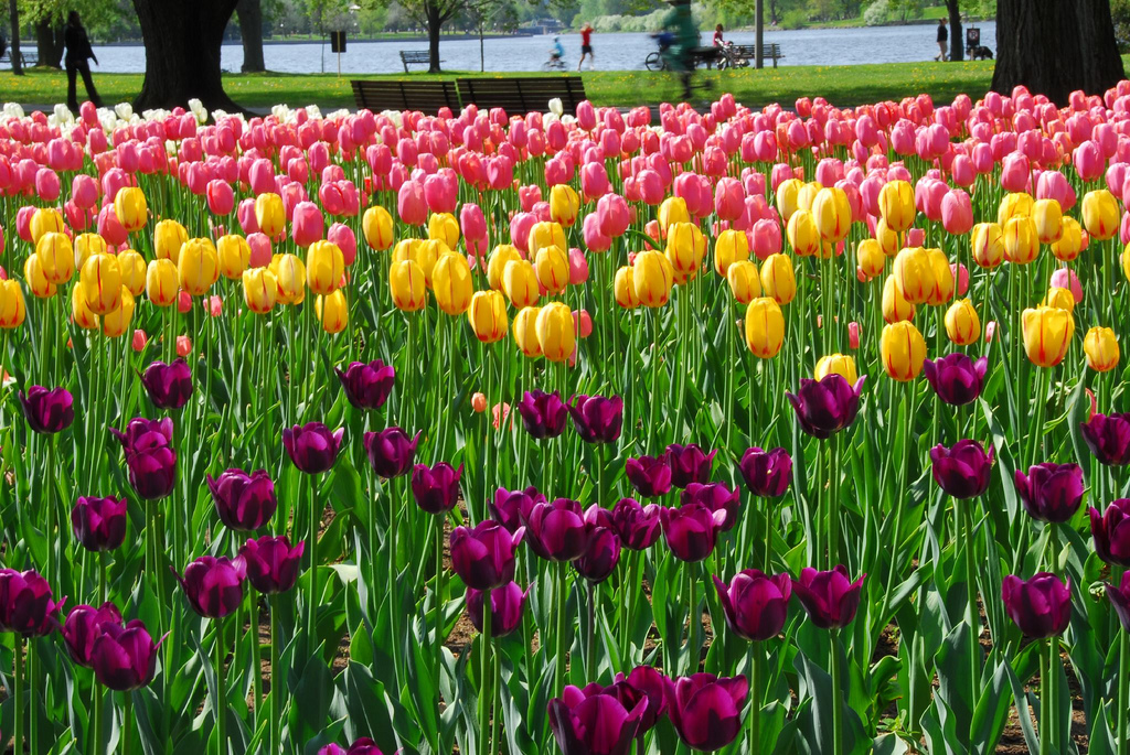 Ottawa Tulip Festival, by Dow's Lake by Lord of the Wings©, on Flickr