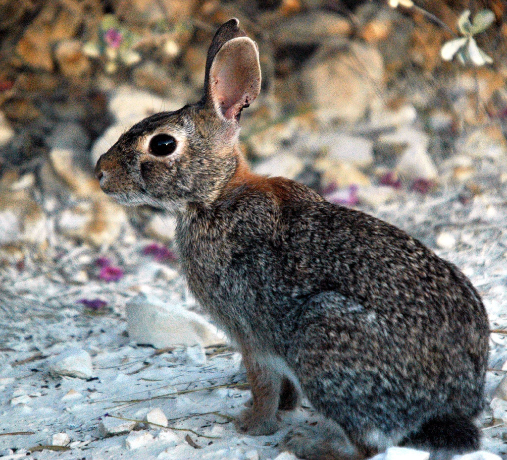 Cottontail Rabbit by Charles & Clint, on Flickr