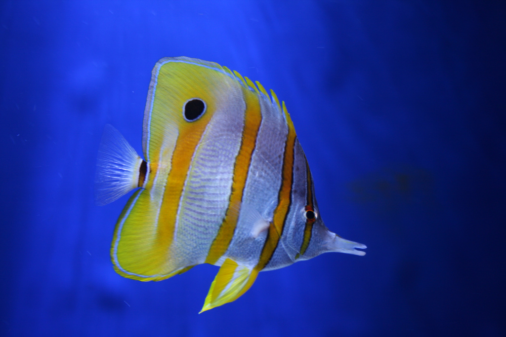 Copperband Butterfly Fish on blue by JerryFrausto, on Flickr