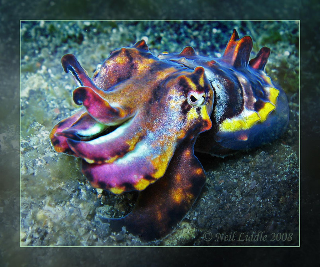 Flamboyant Cuttlefish Macro by NeilsPhotography, on Flickr