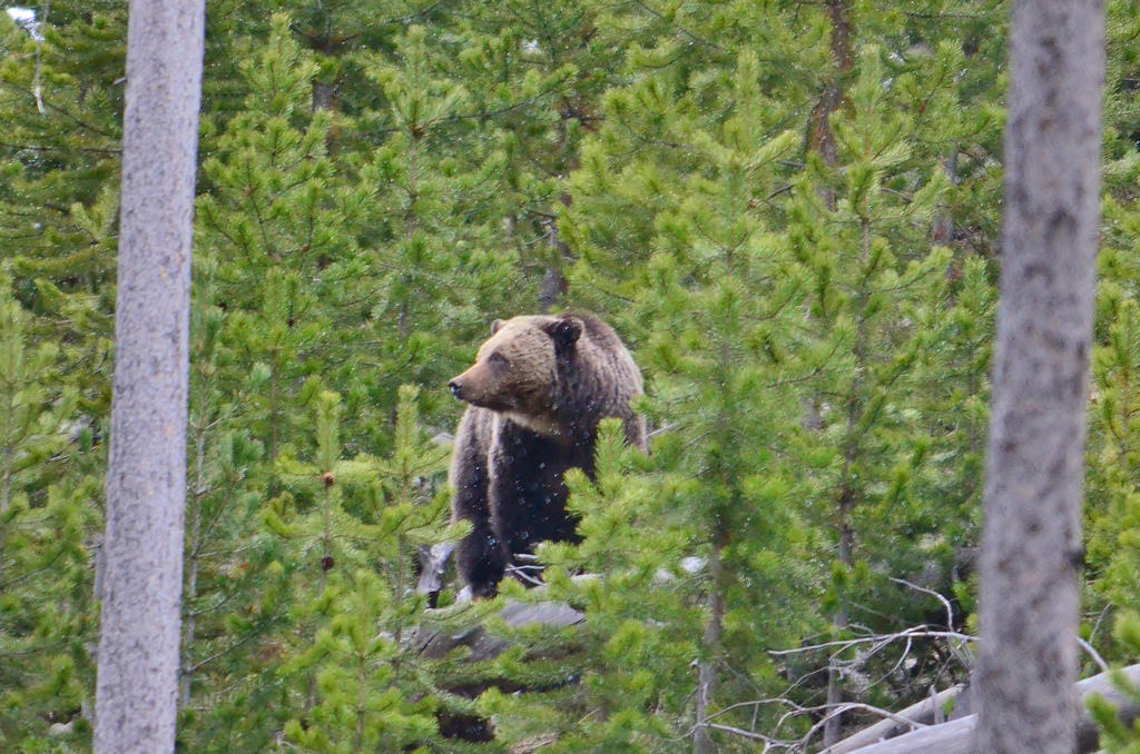 Grizzly bear in Yellowstone National Par by USFWS Mountain Prairie, on Flickr