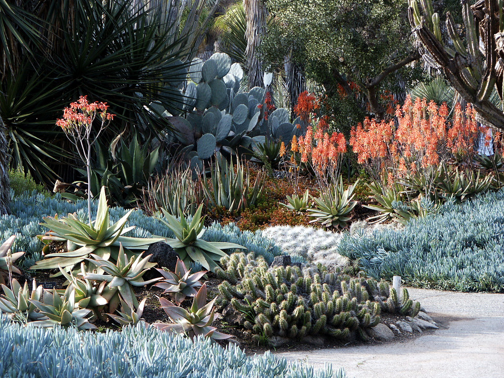 Aloe & blue stick succulents, Huntington by DominusVobiscum, on Flickr