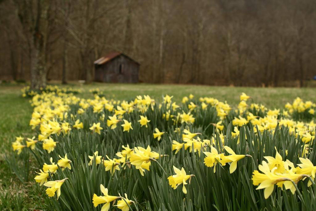 barn daffodils by ForestWander.com, on Flickr
