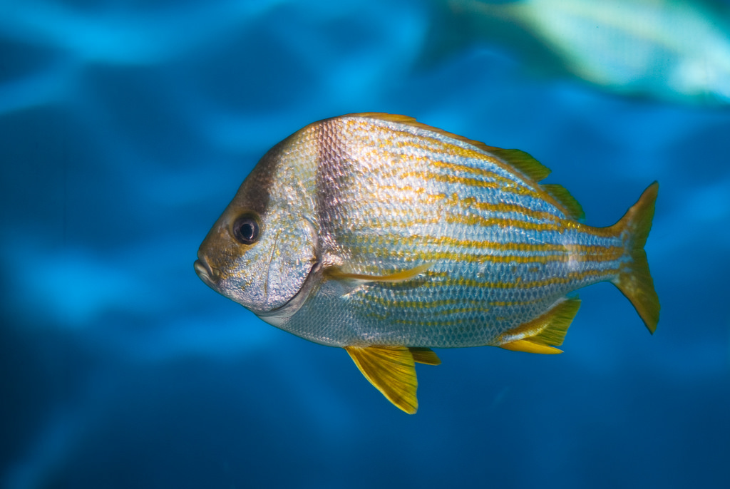 Yellow Striped Tropical Fish by chriswsn, on Flickr