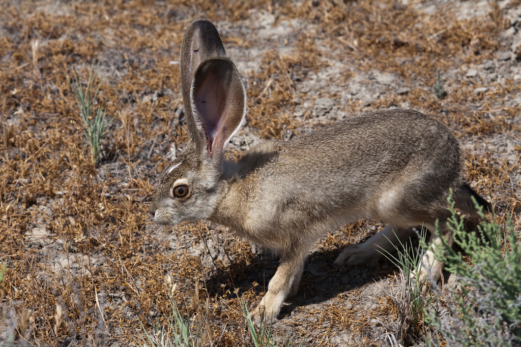 Lepus californicus - Hare, Rabbit at Sod by mikebaird, on Flickr