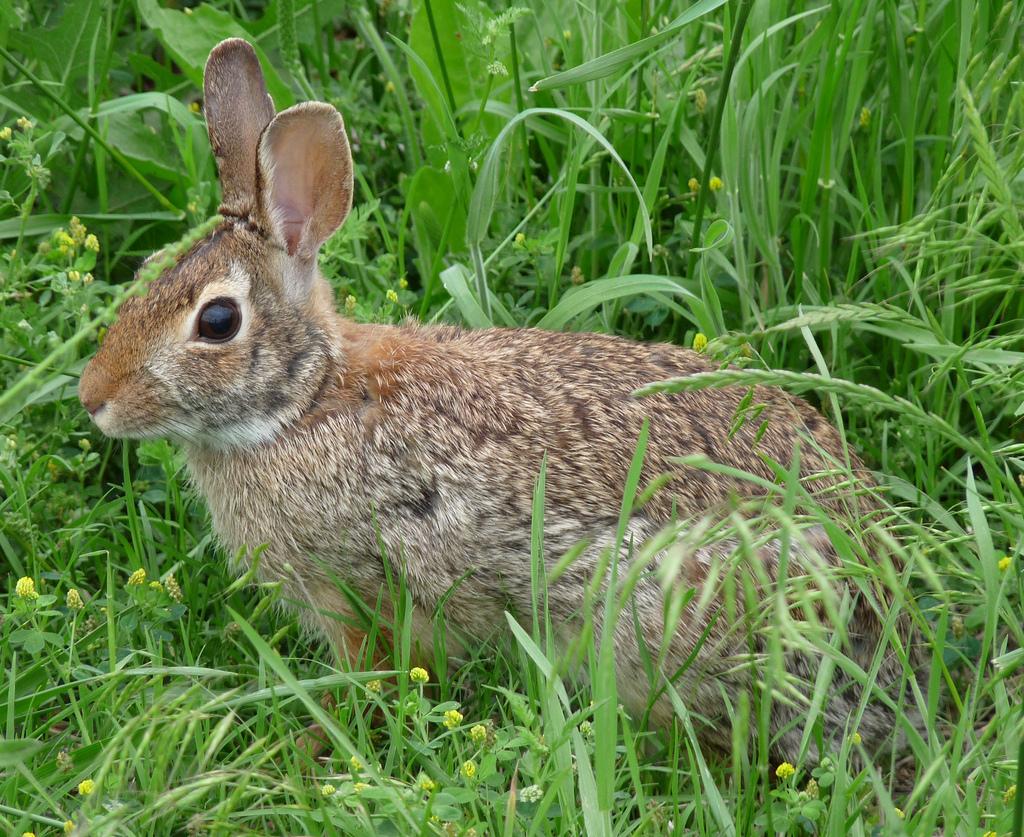 P1020263v1-rabbit by Kilarin, on Flickr