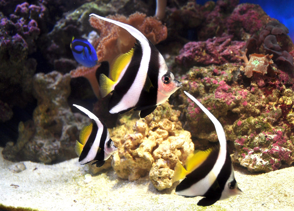 Schooling Bannerfish by Moto@Club4AG, on Flickr