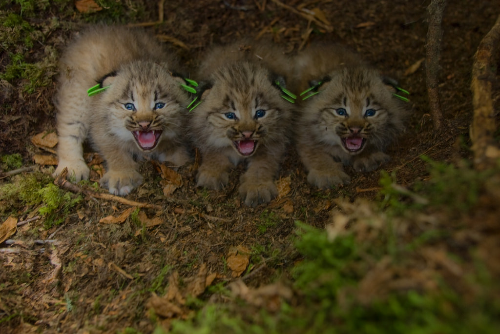 Photo of the Week - Canada Lynx kittens by U. S. Fish and Wildlife Service - Northeast Region, on Flickr