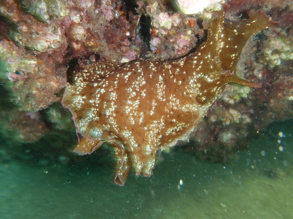Aplysia fasciata, mottled sea hare (Sea by dimsis, on Flickr