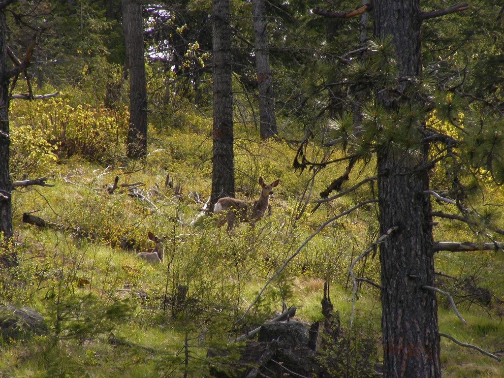 Mule deer bedding down in open forest by Jrtayloriv, on Flickr