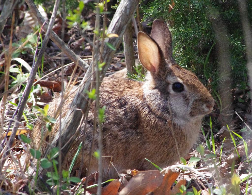Rabbit by vastateparksstaff, on Flickr