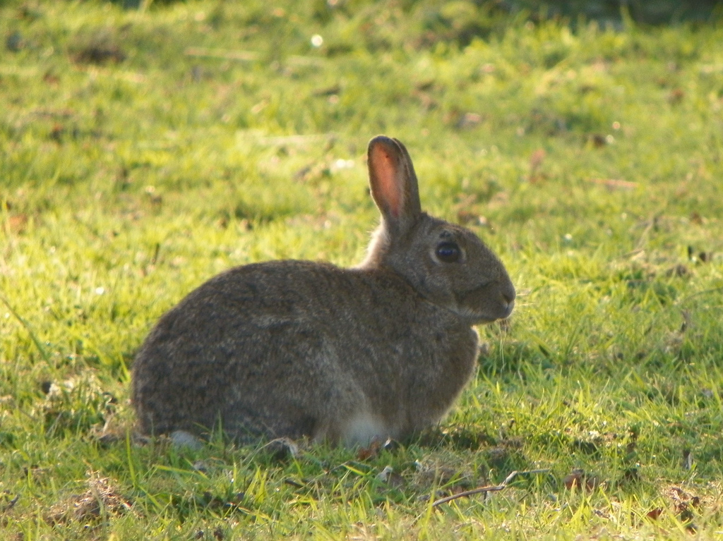 Rabbit (Oryctolagus cuniculus) by Peter O