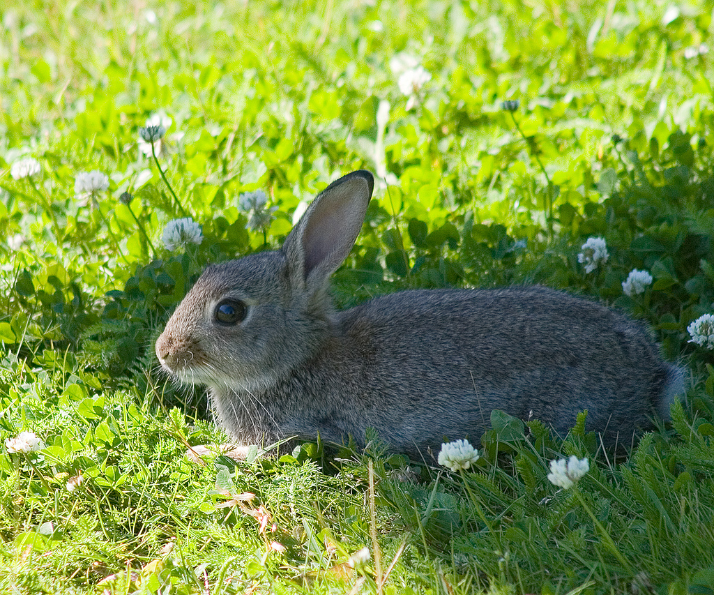 Rabbit prefers shade by Tomi Tapio, on Flickr