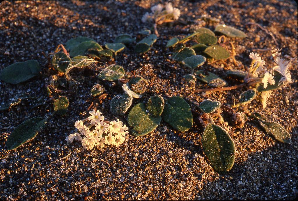 Yellowstone Sand Verbena by USFWS Mountain Prairie, on Flickr
