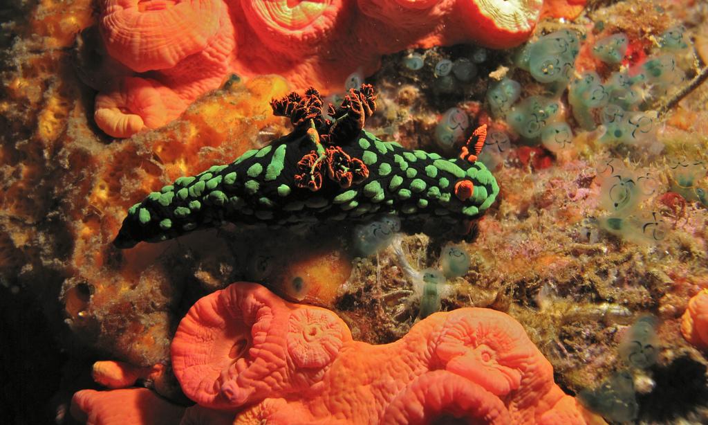 Sea Slug (Nembrotha kubaryana) by berniedup, on Flickr