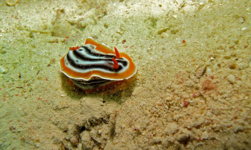 Sea Slug (Chromodoris magnifica) by berniedup, on Flickr