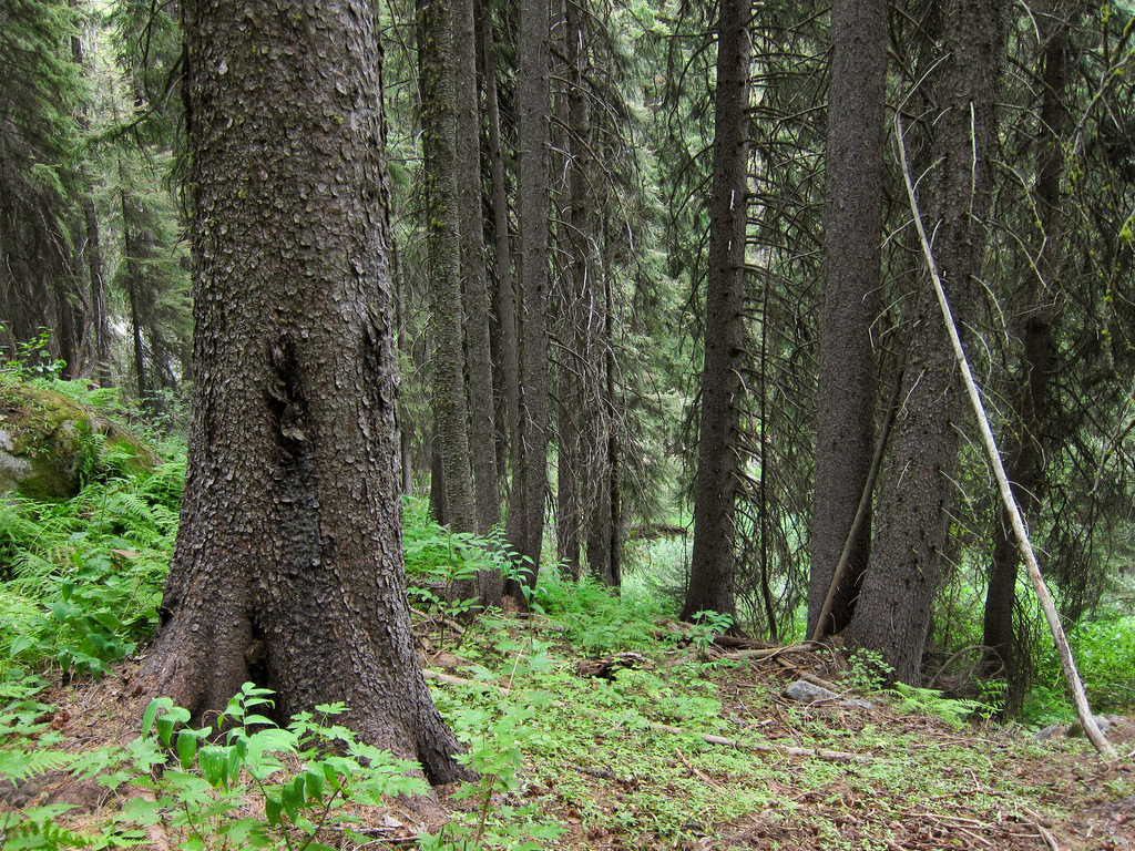 Forest with Engelmann spruce below Bould by MiguelVieira, on Flickr